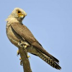 Dickinson's Kestrel, Central Kalahari GR - Botswana (4320)