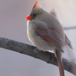 Cardinal (female), Silver Spring - USA (7587)