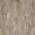 Cattail, West Rutland Marsh, VT - USA (8450)
