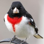 Rose-breasted Grosbeak, Bolton Valley, VT - USA (8759)