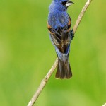 Blue Grosbeak, Bombay Hook NWR - USA (8926)