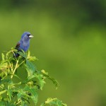 Blue Grosbeak, Bombay Hook NWR - USA (9084)