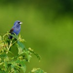 Blue Grosbeak, Bombay Hook NWR - USA (9096)