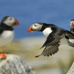 Atlantic Puffin, Machias Island - USA (9538)