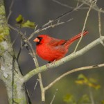 Cardinal, Blackwater NWR - USA (9706)