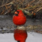 Cardinal, Blackwater NWR - USA (9776)