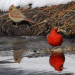 Cardinal, Blackwater NWR - USA (9807)
