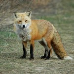 Red Fox, Bombay Hook NWR - USA (5118)