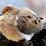 Mourning Dove, Silver Spring, MD - USA (0367)