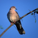 Red-eyed Dove, Lake Baringo - Kenya (27)