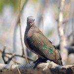 Emerald-spotted Wood Dove, Moremi NP - Botswana (0126)