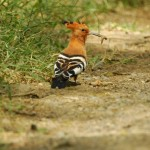 Hoopoe, Lake Nakuru NP - Kenya (6867)