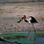 Saddle-billed Stork, Moremi NP - Botswana (001)