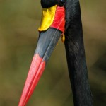 Saddle-billed Stork, Masai Mara - Kenya (177)