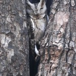 Collared Scops Owl, Ranthambore NP - India (9477)