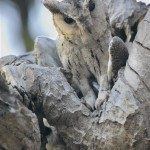 Collared Scops Owl, Ranthambore NP - India (9499)