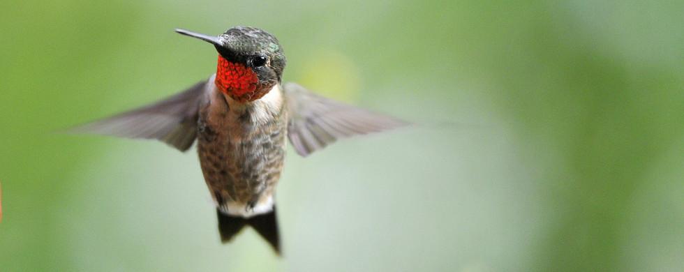 Ruby-throated hummingbird (4983)